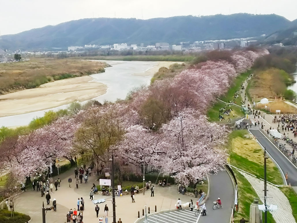 京都府八幡市の「背割堤さくらまつり」の画像