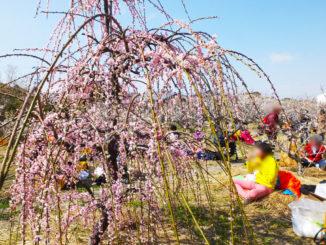 城陽酒造酒蔵開き 梅の花