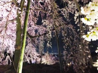宇治植物園の枝垂桜夜間無料公開