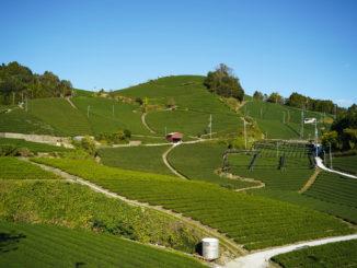 石寺の茶畑の写真