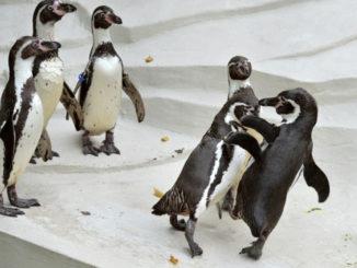 ペンギンのケンカの画像
