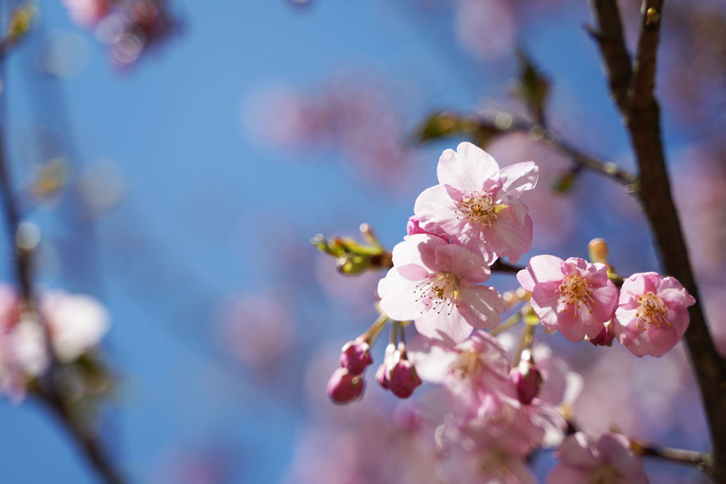 井手町河津桜の写真2