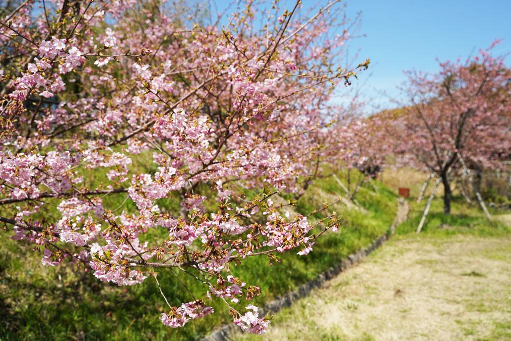 井手町河津桜の写真1