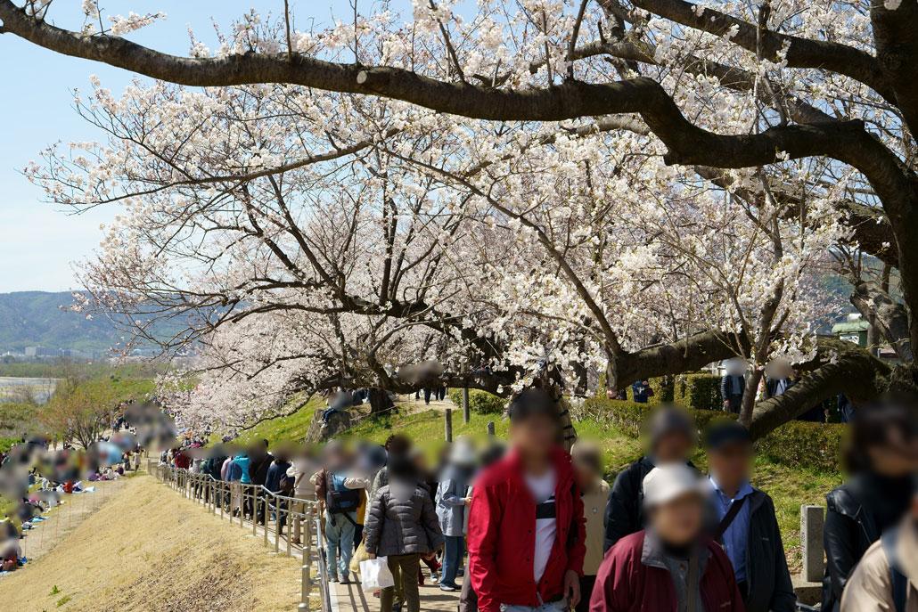 八幡の背割堤の桜2