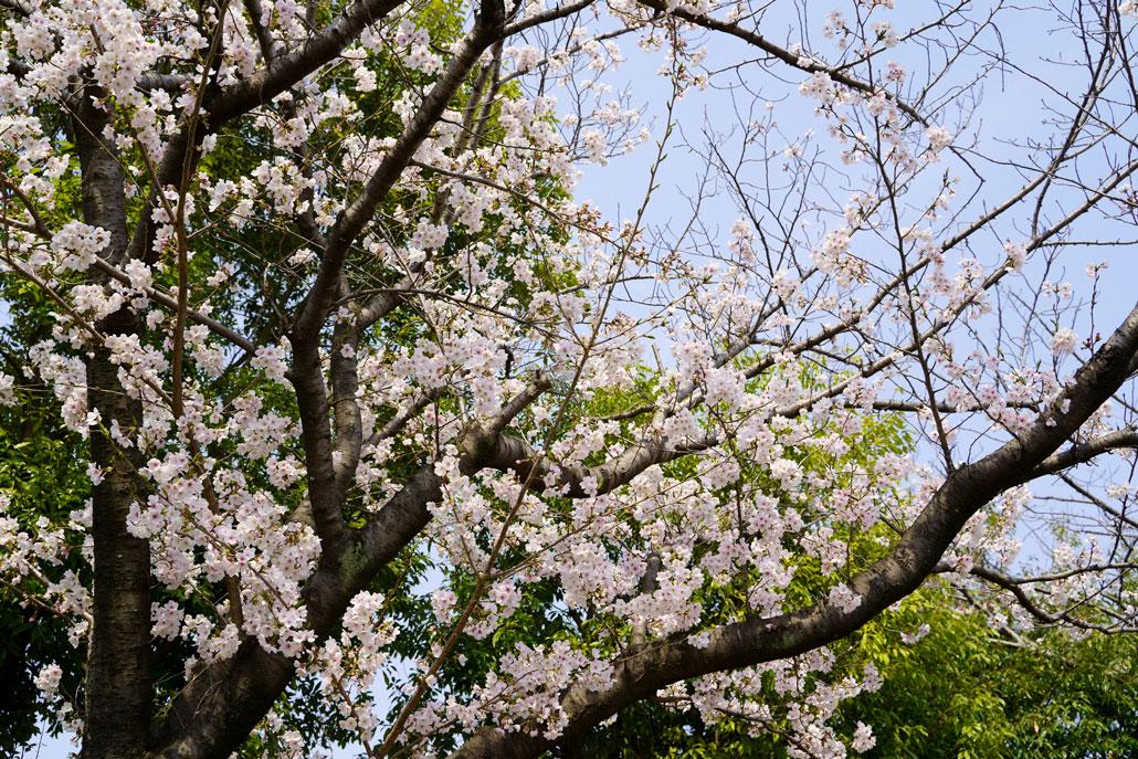 お花見市場一般開放2019 桜の写真