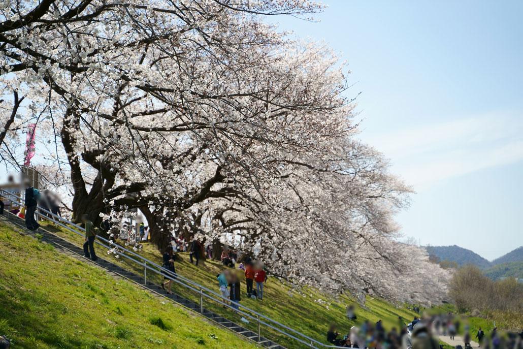 八幡の背割堤の桜3