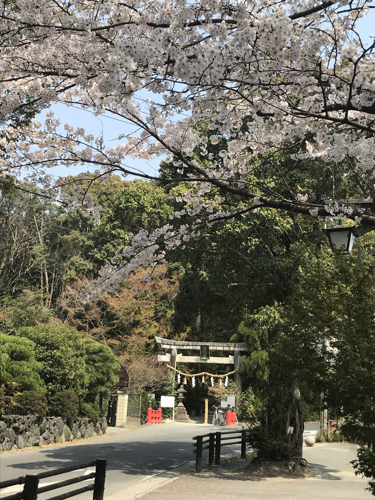 tikoさんの写真・水度神社の桜「鳥居と桜」