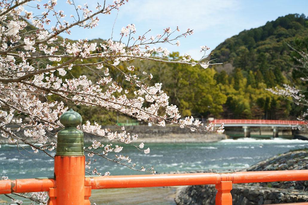 宇治川の桜写真1