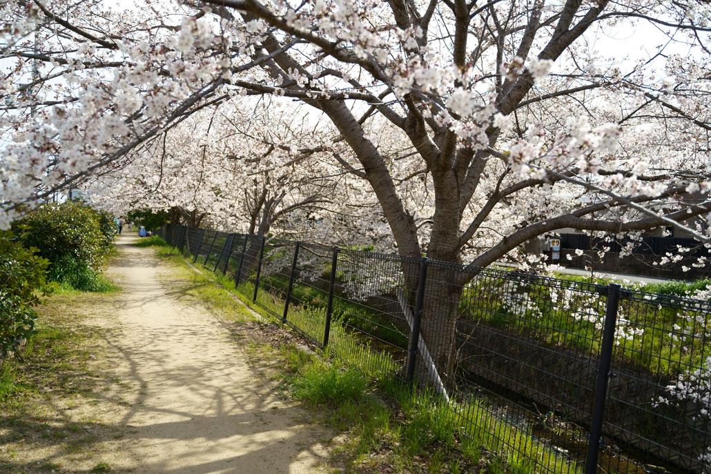 田辺高校近くの桜2