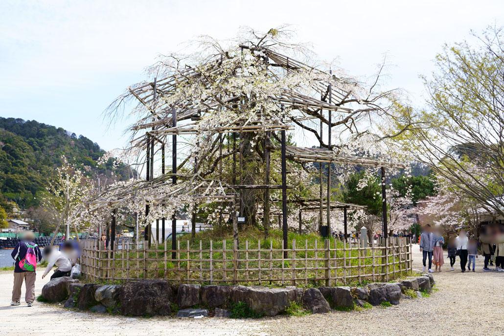 宇治川の枝垂れ桜写真