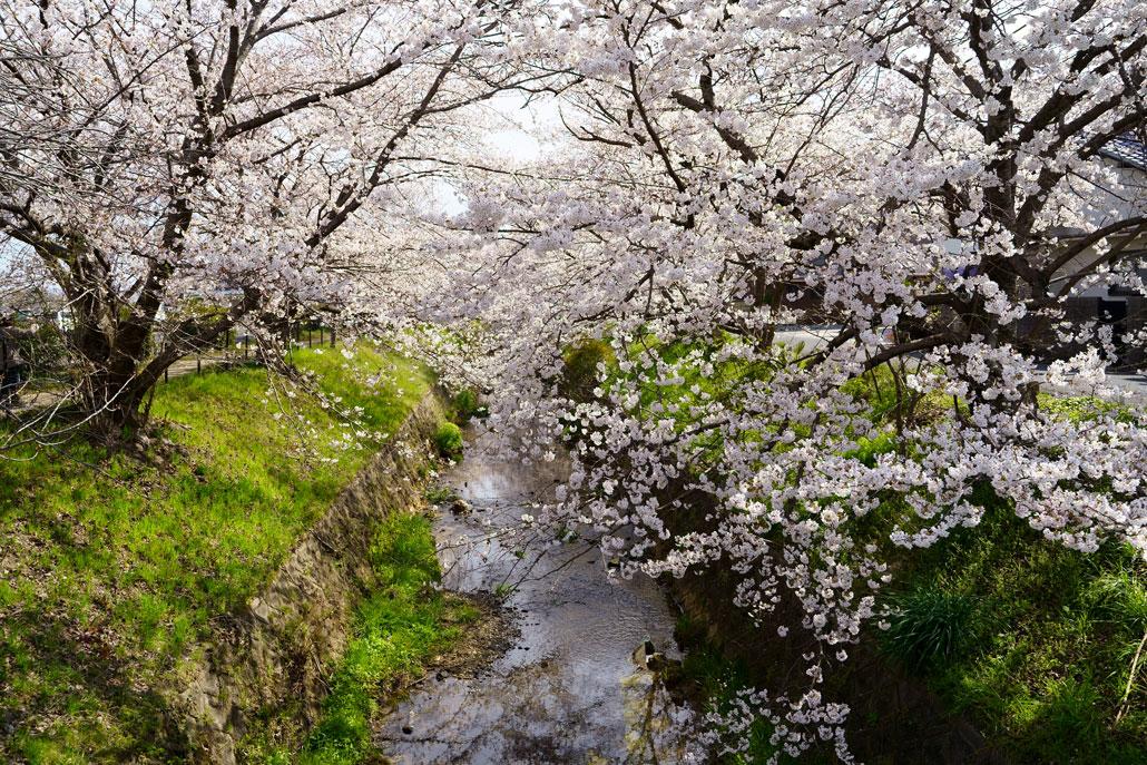 田辺高校近くの桜