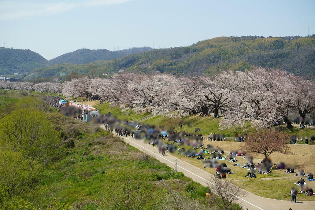 八幡の背割り堤の桜1