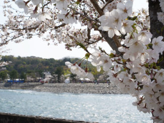 宇治川さくらまつりの写真5