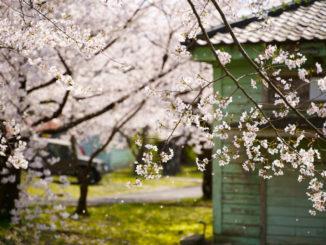 「平成31年 宇治駐屯地桜まつり」の写真2