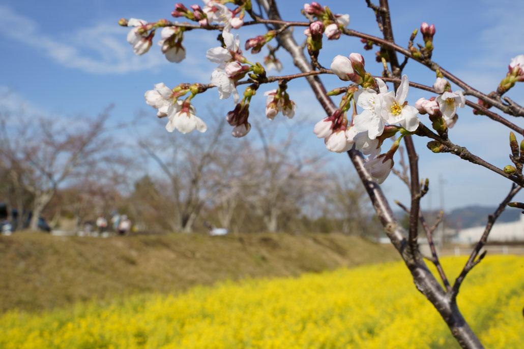 京田辺の菜の花3