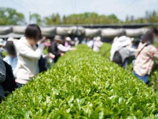 宇治新茶 八十八夜茶摘みの集い(2019年)⑩