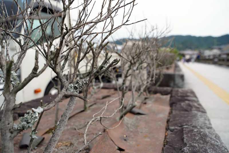 宇治橋の茶の木の画像