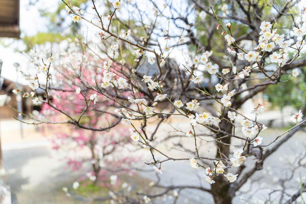 梅の画像2