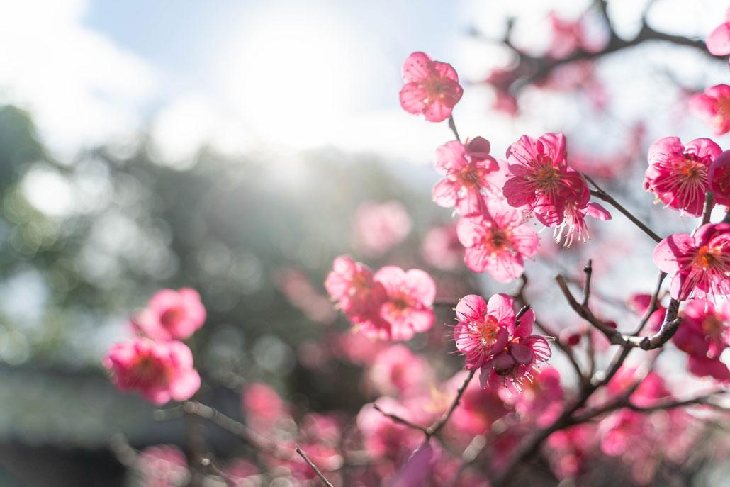 梅の画像1