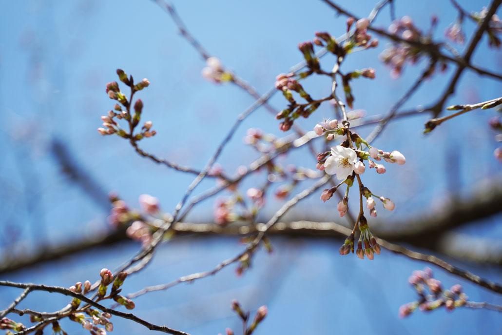 背割堤の桜の画像