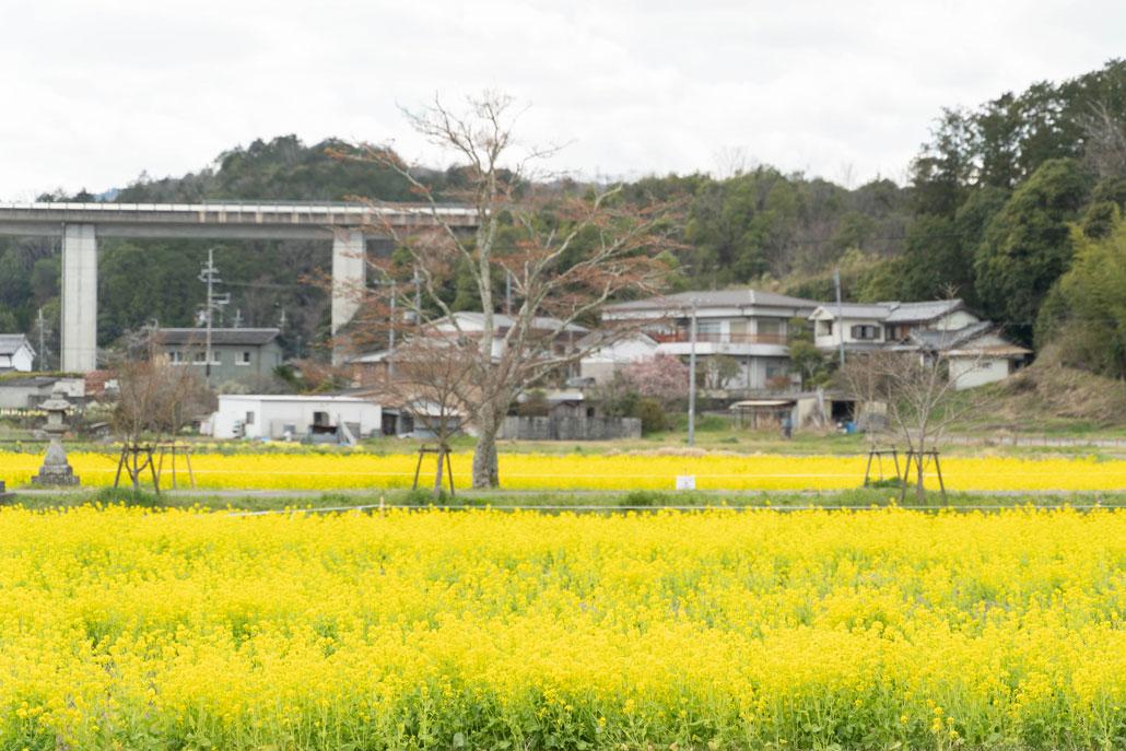 「普賢寺菜の花畑」の画像1