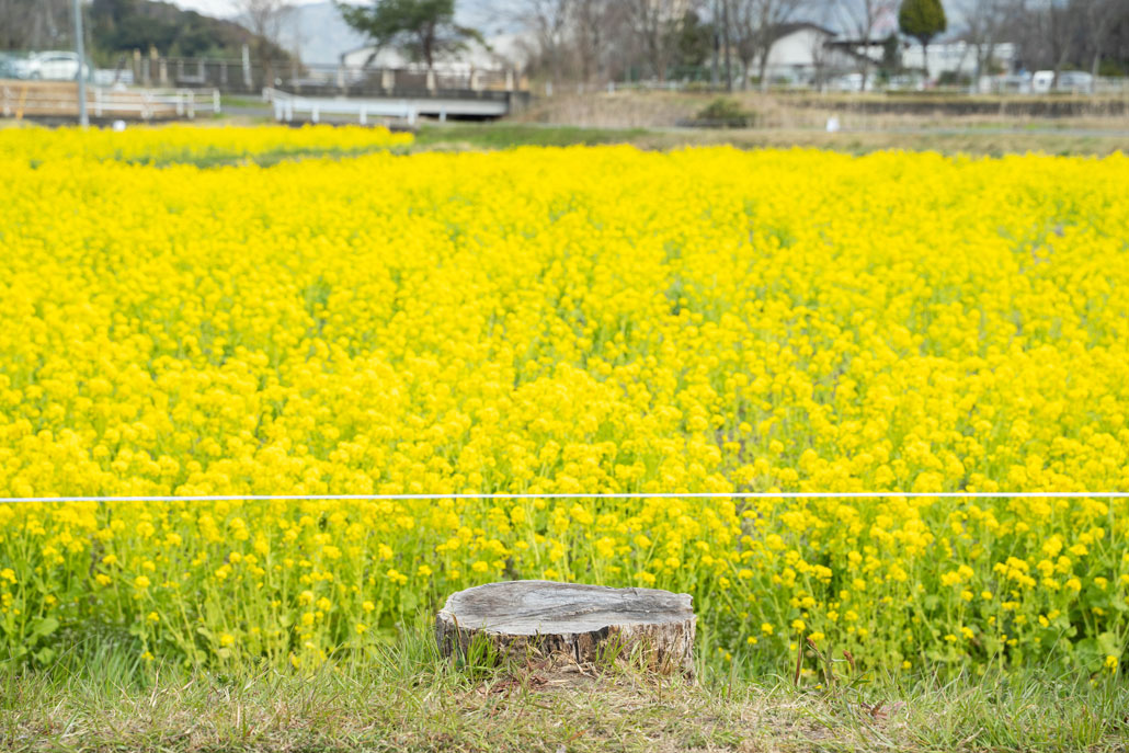 「普賢寺菜の花畑」の画像3