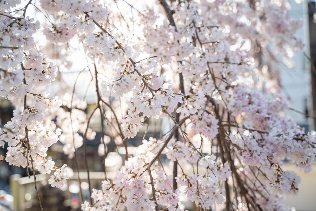 縣神社の枝垂れ桜(2020年)の画像2