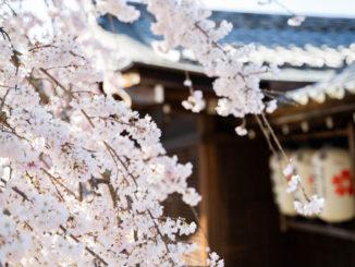 縣神社の枝垂れ桜(2020年)の画像1