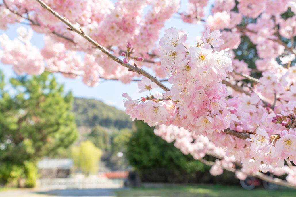 春めきの画像