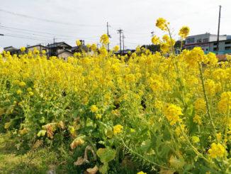 宇治田原の菜の花の画像