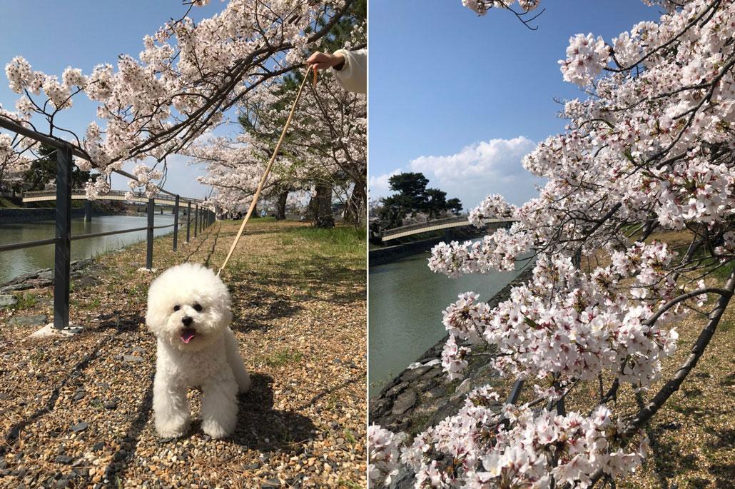 宇治川の桜のサムネイル