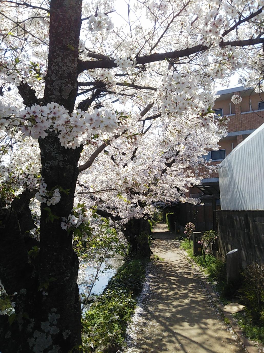 井川 桜トンネル の画像