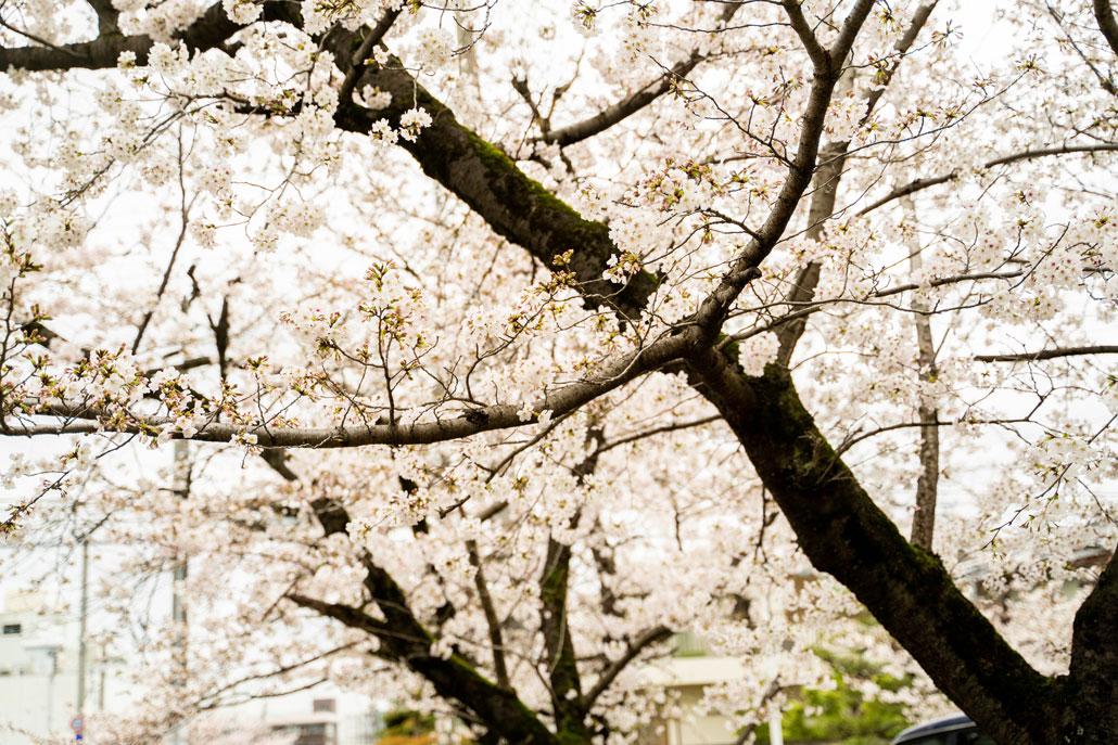 水度神社の桜2020年の画像3
