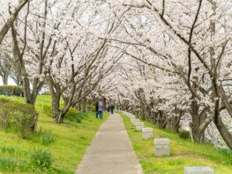 「桜づつみ寺田緑地」桜トンネルの画像