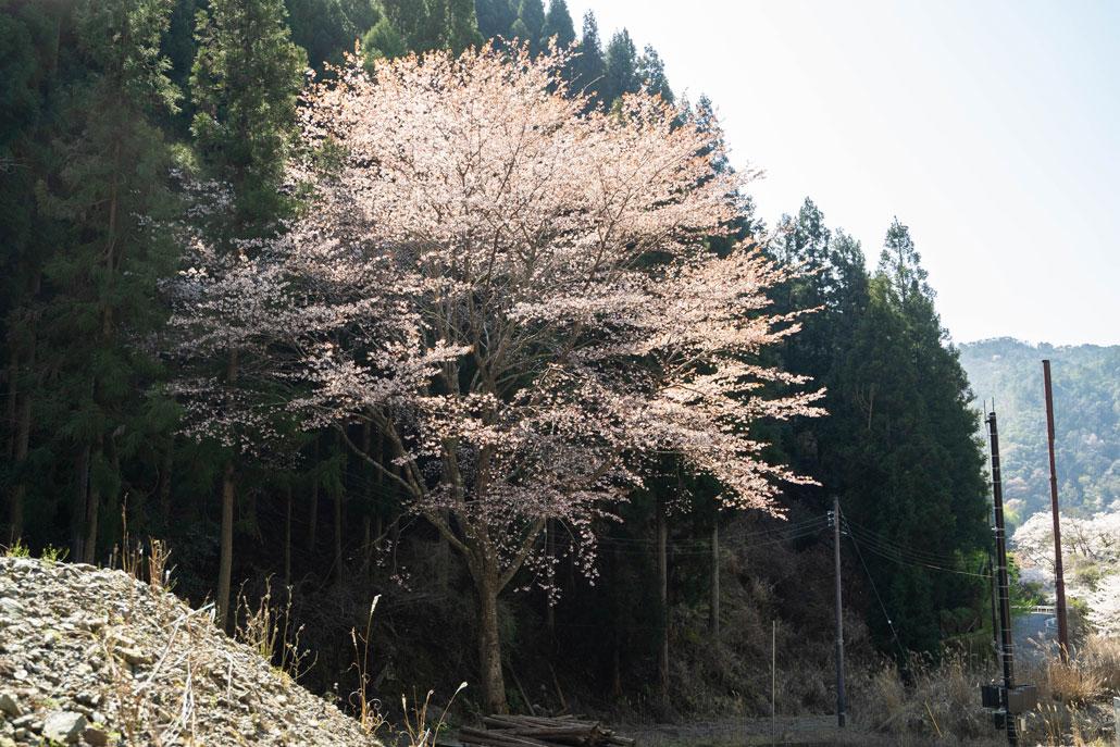 アルモンさんの山桜の写真