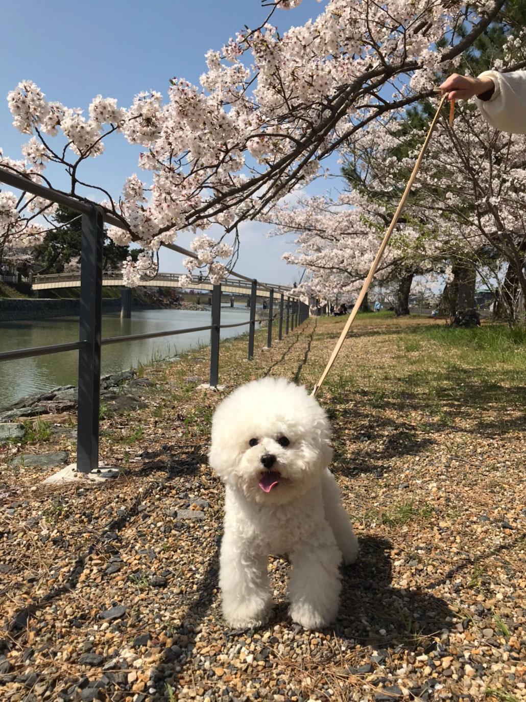 宇治川の桜と犬