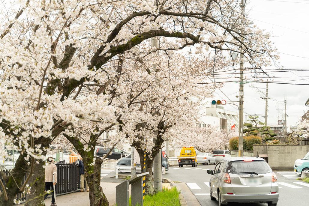 水度神社の桜2020年の画像2