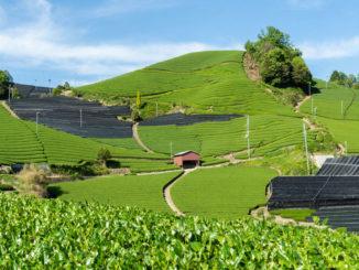 和束町の茶畑の画像1
