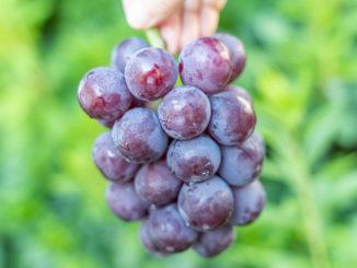 ブドウの画像1