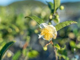 チャノキの花の画像
