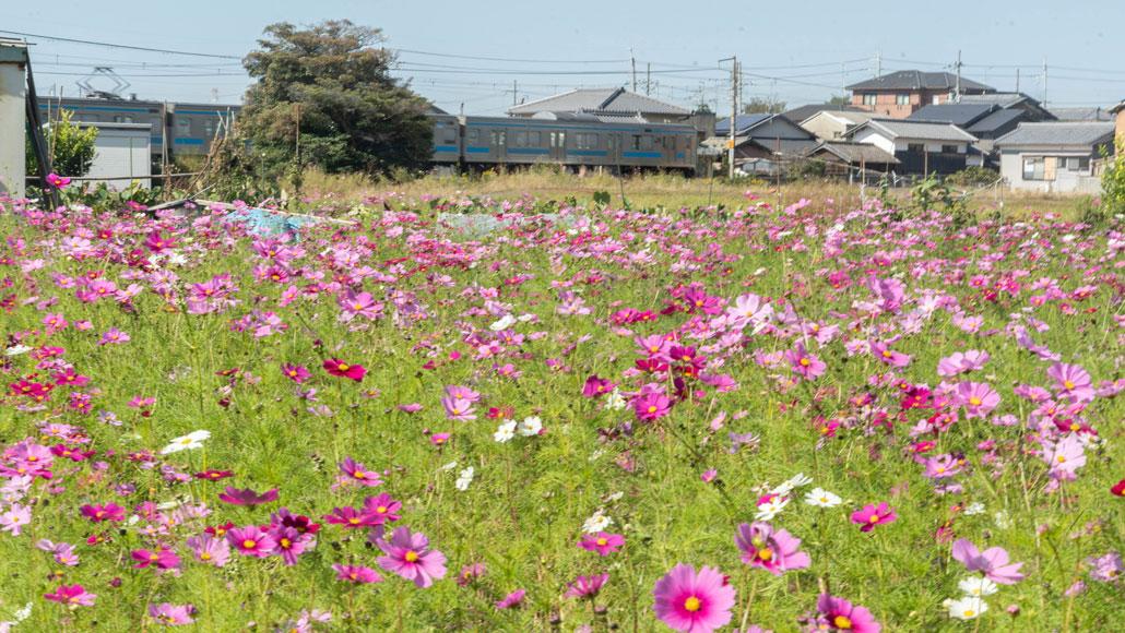 高倉神社の近くのコスモスの画像1