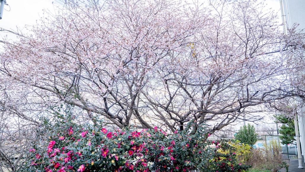 久御山町立東角小学校の桜とサザンカの画像