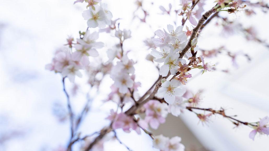 久御山町立東角小学校の桜の花の画像
