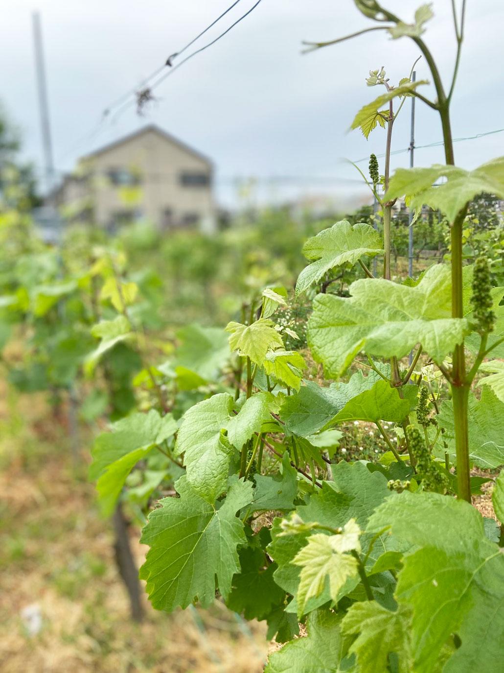 城陽ワインの画像4