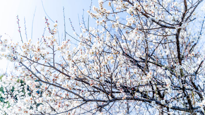 青谷の梅の画像