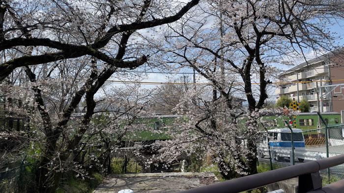 三室戸エリアの桜 3月22日撮影