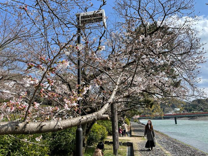 宇治橋上流の桜 3月22日撮影