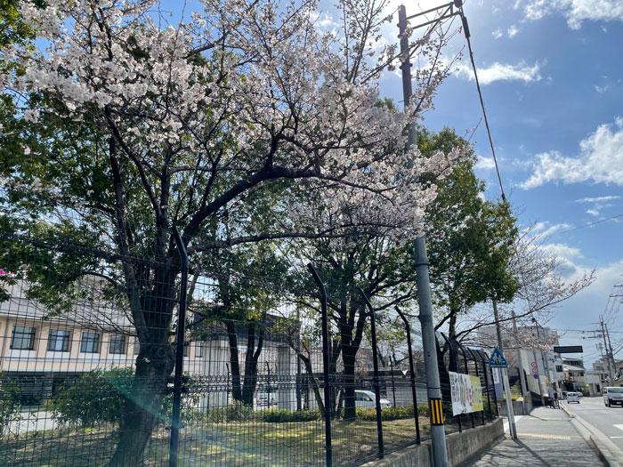 京都府立宇治支援学校前の桜の画像 3月22日撮影