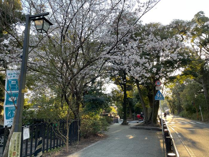 水渡神社参道の桜の画像 3月22日撮影