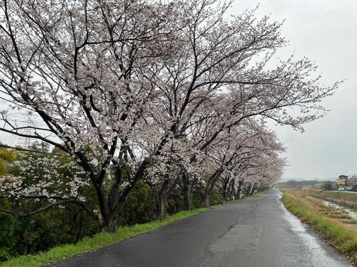 雨の中の桜の画像